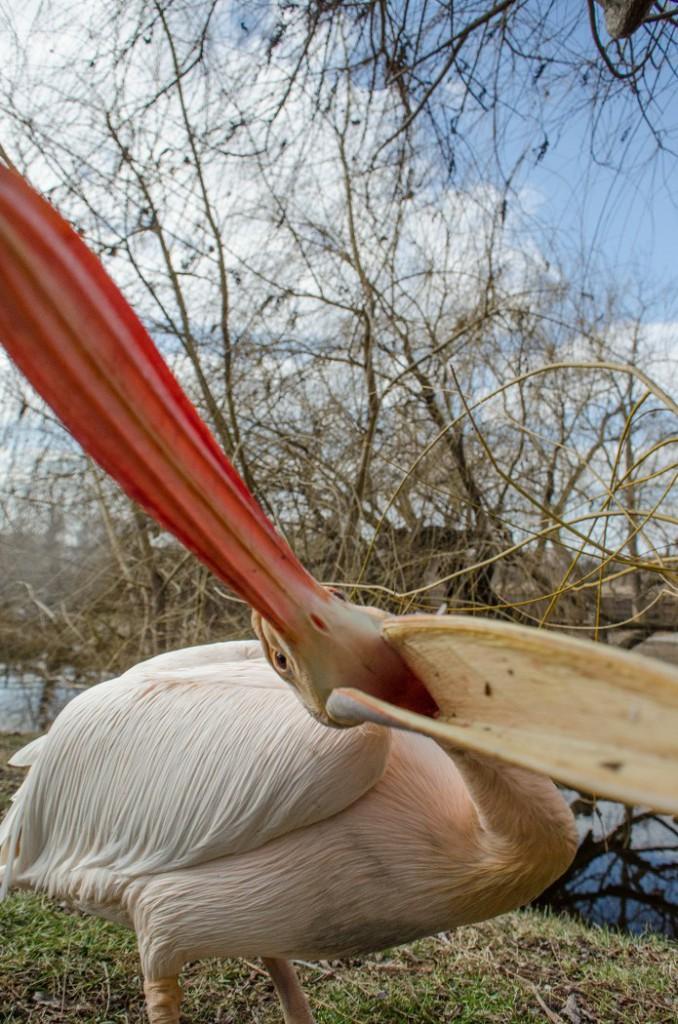 pelican (10)_695x1050