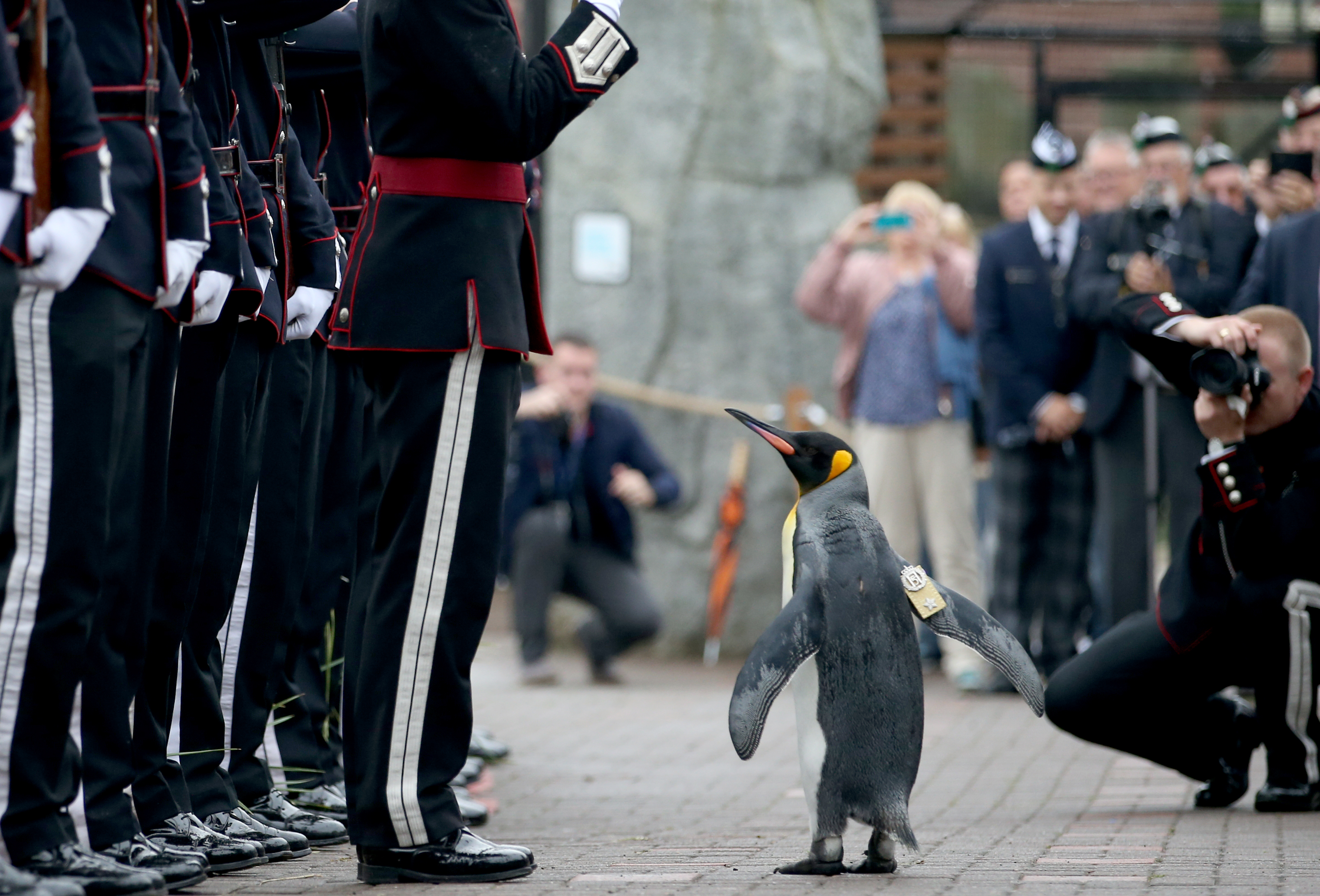 King penguin Nils Olaf inspects guard