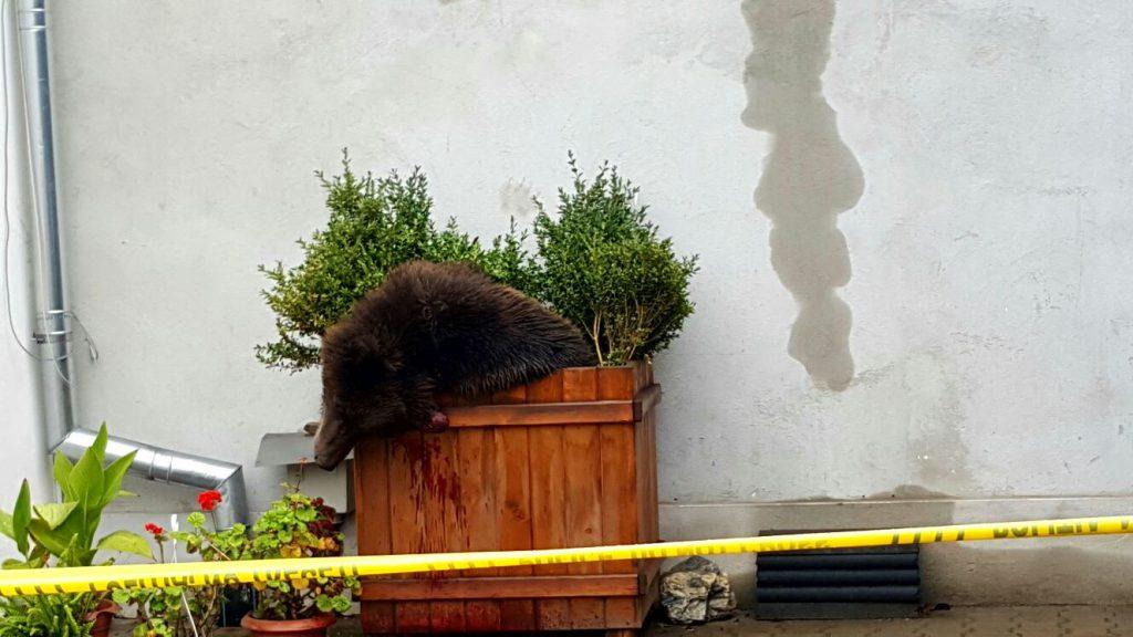 Urs împușcat la Sibiu - imagine după ce a fost împușcat de vânători