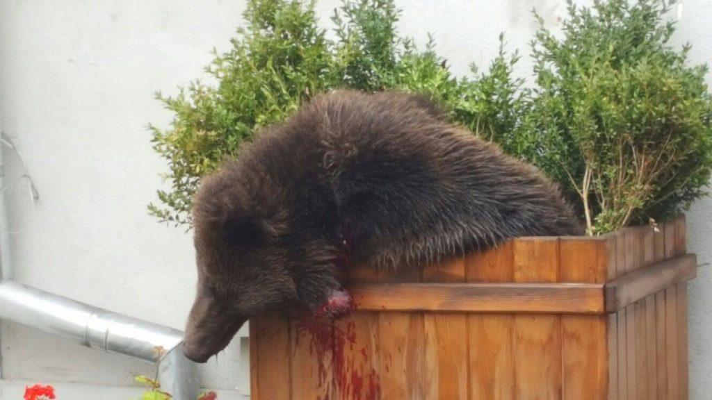 Marian Godină, revoltat. Un șef de Poliție din Sibiu a cerut ca ursul împușcat să fie călcat