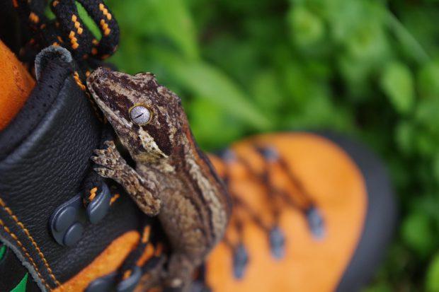 Așa arată o șopârlă gecko | FOTO: Pixabay.com