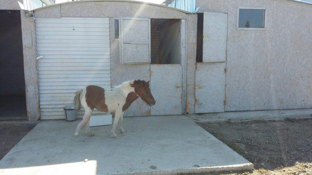 Un ponei a fost salvat de la eutanasiere de o fundație din Galați. După ce a fost operat și i s-a pus orteză, acum zburdă plin de viață/FOTO, VIDEO