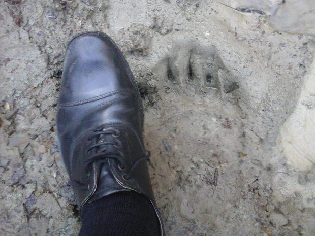 Urma lăsată de ursul care a băgat spaima în localnicii din Colți