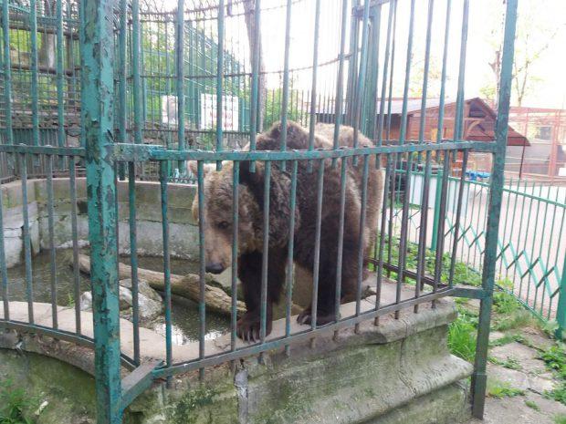 Ursoaica tristă de la Zoo Piatra Neamţ va ajunge la Rezervaţia de urşi de la Zărneşti. Anca a trăit 24 de ani chinuită într-o cușcă/ VIDEO
