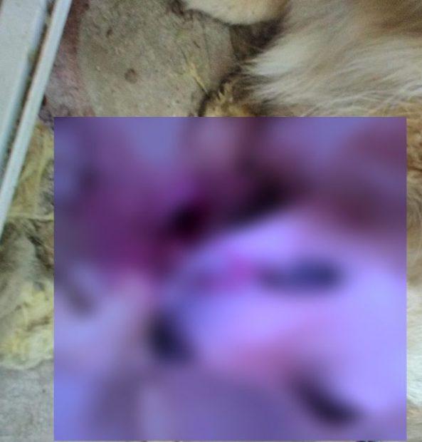 Animale ucise cu furadan în comuna Braniştea, din Galați. Poliţiştii au declanșat o anchetă/ FOTO