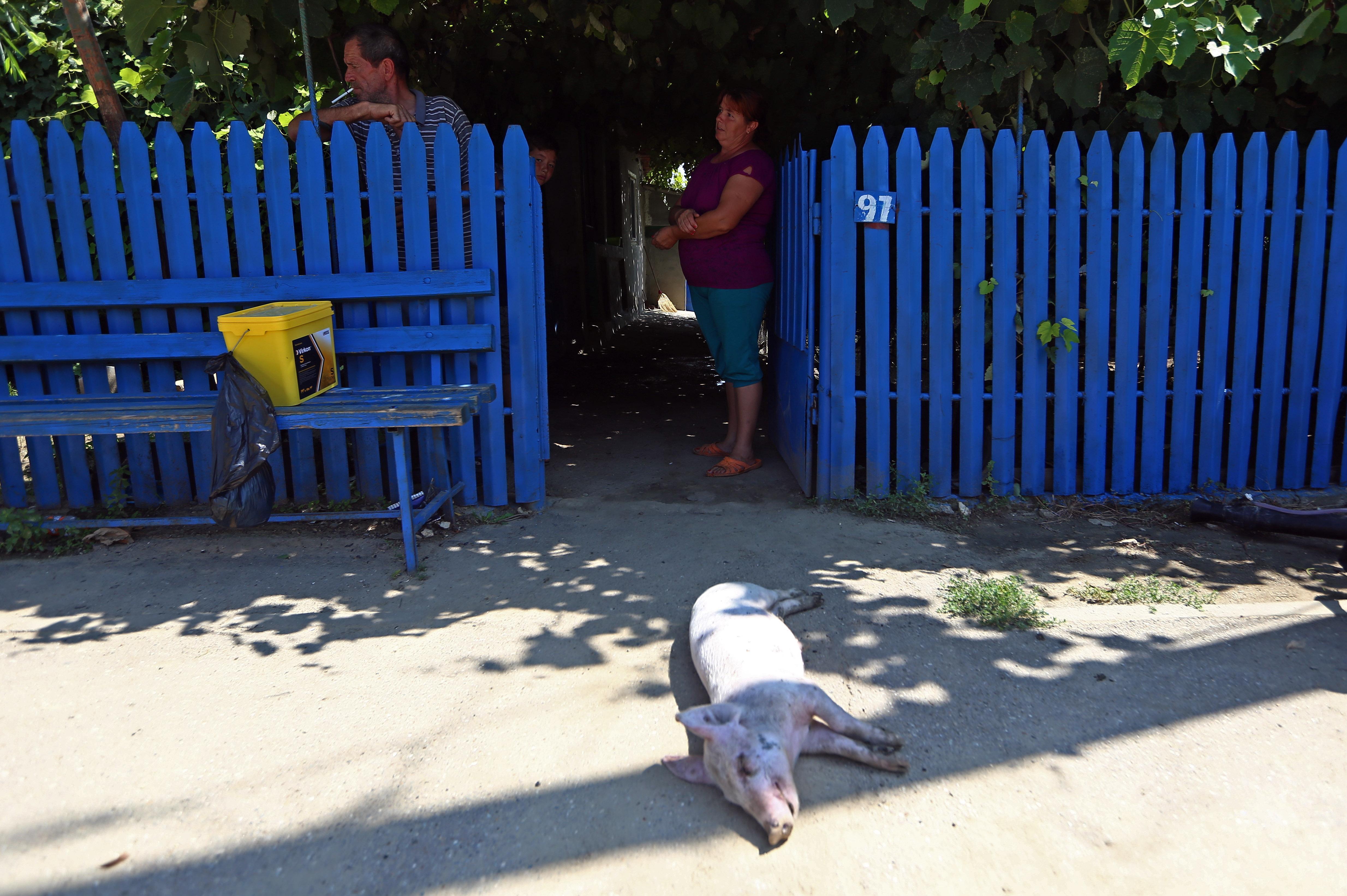 REPORTAJ/ Țara plânge, Guvernul minte, porcii mor! România abator (VIDEO)