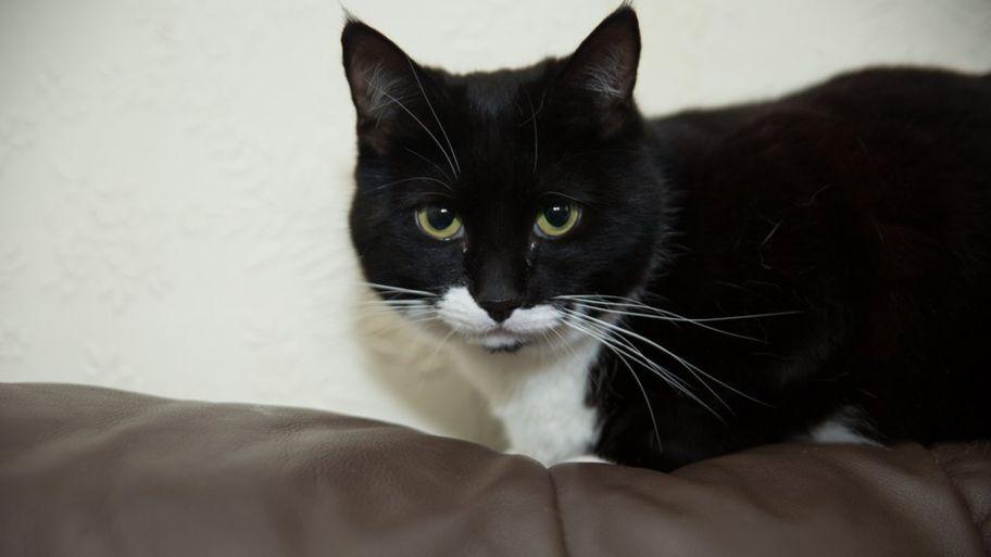 Pisica anului 2018 în Marea Britanie. Theo i-a salvat viața stăpânei sale