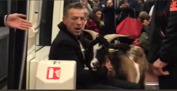 A furat o capră de lângă Muzeul Luvru și a dus-o la metrou