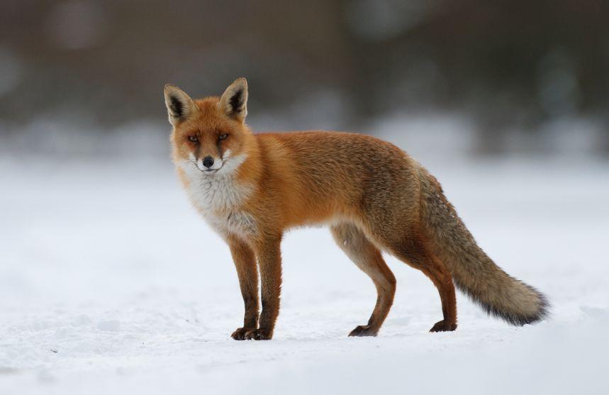 Vulpe pe zăpadă