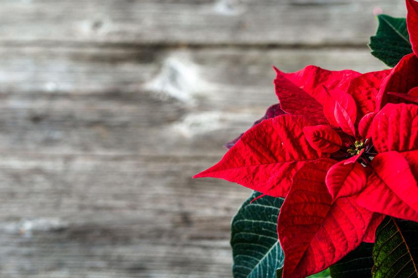 Crăciunița - Floarea Crăciunului
