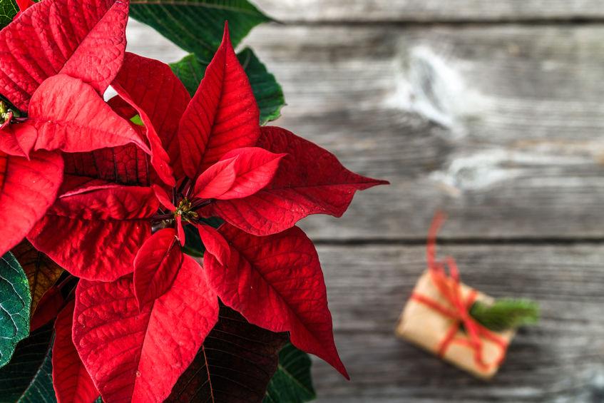 Crăciuniță