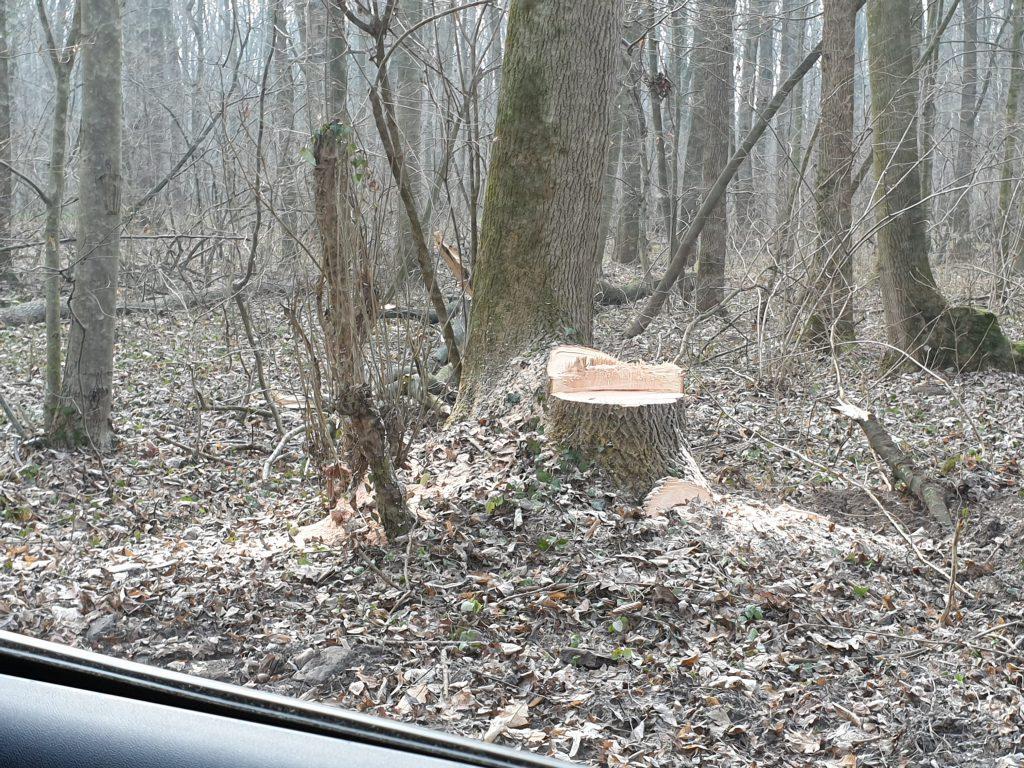 pădurea Băneasa - se taie copacii - cioturi ramase