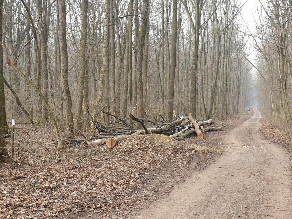 pădurea Băneasa - copaci taiati de Ocolul Silvic Bucuresti