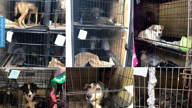 Români, prinși în Germania cu 31 de câini înghesuiți într-o dubă. Animalele erau ținute în condiții groaznice