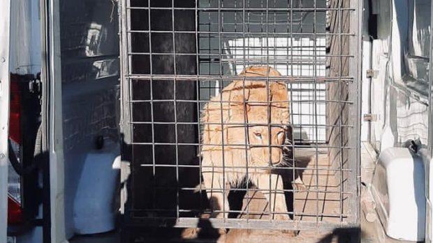 Leul maltratat din clipul manelistului Dani Mocanu a fost găsit de polițiști. Unde era ținut