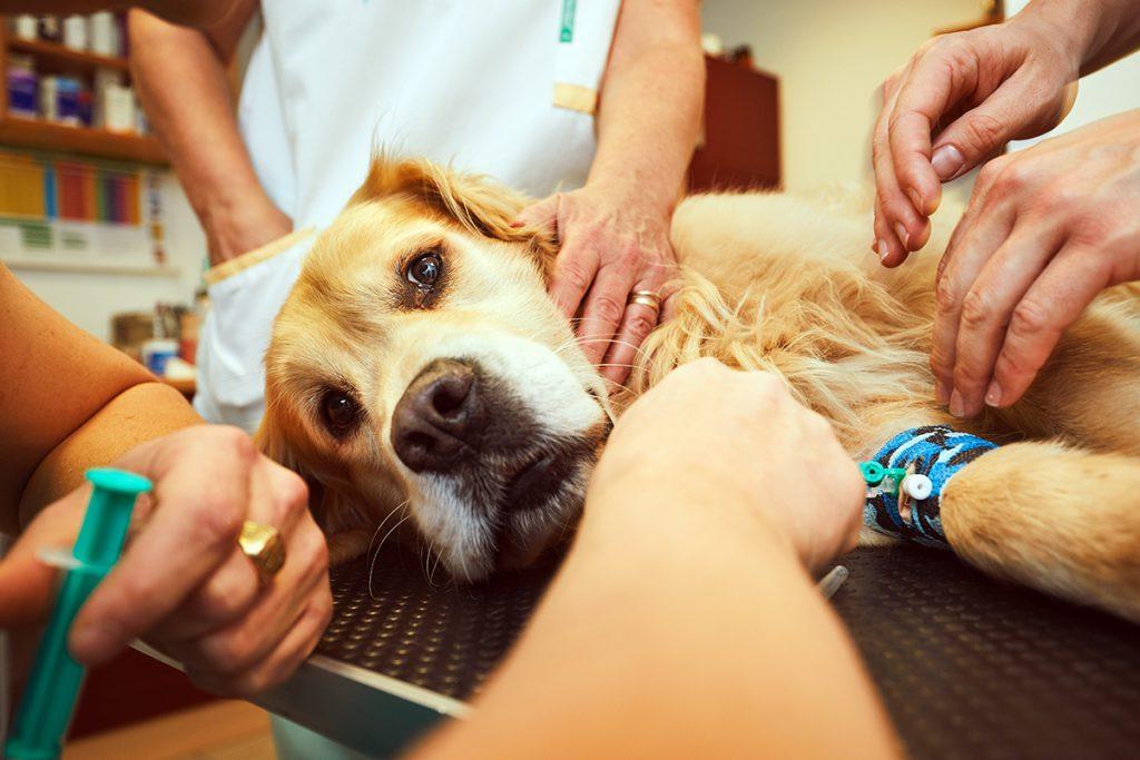 datând medicul veterinar