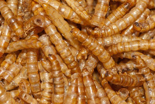 O insectă, declarată aliment de Comisia Europeană