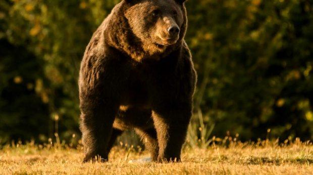 """Cazul ursului Arthur a ajuns în atenția Comisiei Europene: """"Cercetăm cu mare atenție"""""""