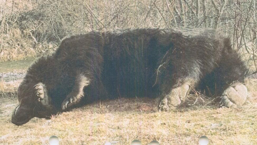 Ursul Arthur împușcat. Foto: Agent Green