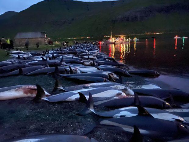 Aproape 1.500 de delfini, ucişi în Insulele Feroe cu ocazia unei tradiţii ce datează de sute de ani